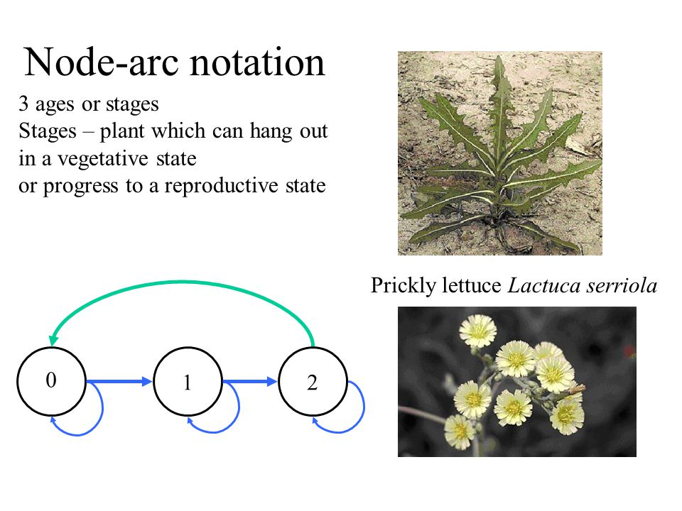Node-arc notation 3 ages or stages Stages – plant which can hang out in a vegetative state or progress to a reproductive state 0 12 Prickly lettuce Lactuca serriola