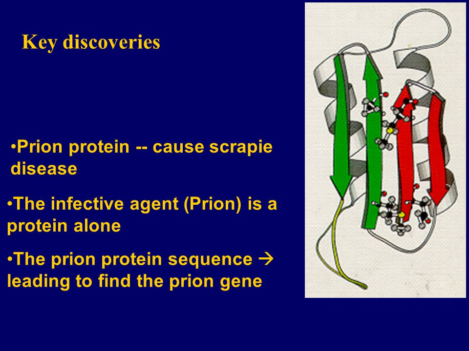 Key discoveries Prion protein -- cause scrapie disease The infective agent (Prion) is a protein alone The prion protein sequence leading to find the prion gene