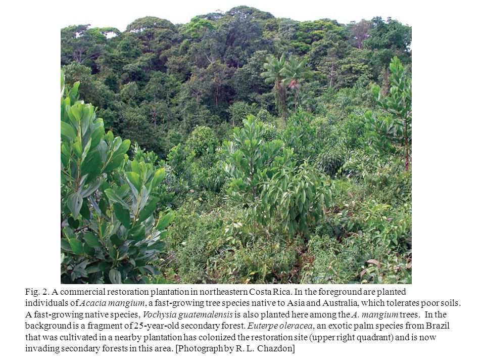 Fig.2. A commercial restoration plantation in northeastern Costa Rica.