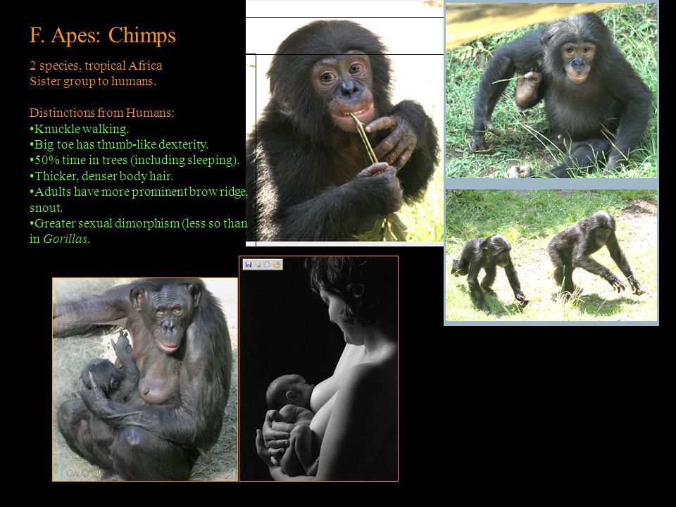 F. Apes: Chimps 2 species, tropical Africa Sister group to humans.