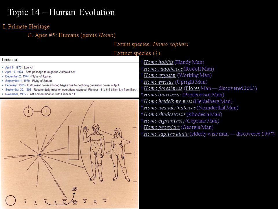 I. Primate Heritage G. Apes #5: Humans (genus Homo) Extant species: Homo sapiens Extinct species (): Topic 14 – Human Evolution Homo habilis (Handy Ma
