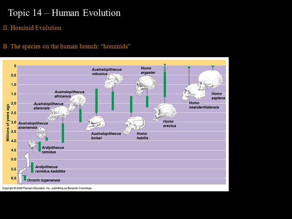 II. Hominid Evolution B. The species on the human branch: hominids Topic 14 – Human Evolution