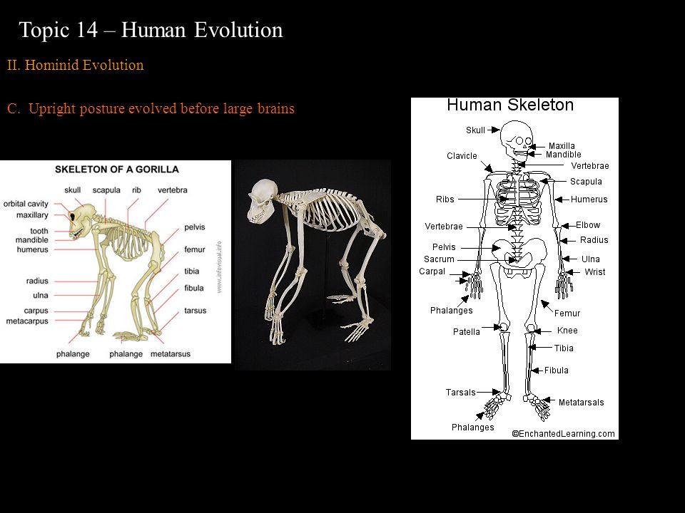 II. Hominid Evolution C. Upright posture evolved before large brains Topic 14 – Human Evolution