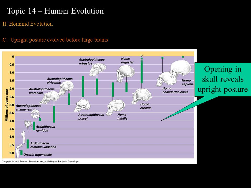 II. Hominid Evolution C.