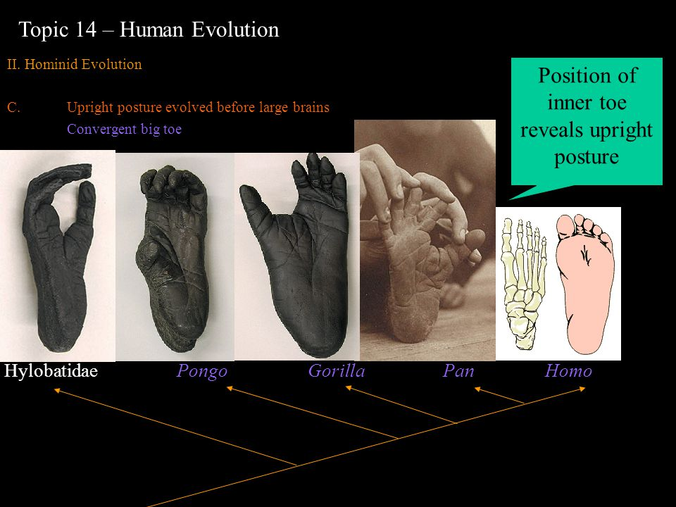 Hylobatidae Pongo Gorilla Pan Homo Topic 14 – Human Evolution II. Hominid Evolution C.Upright posture evolved before large brains Convergent big toe P