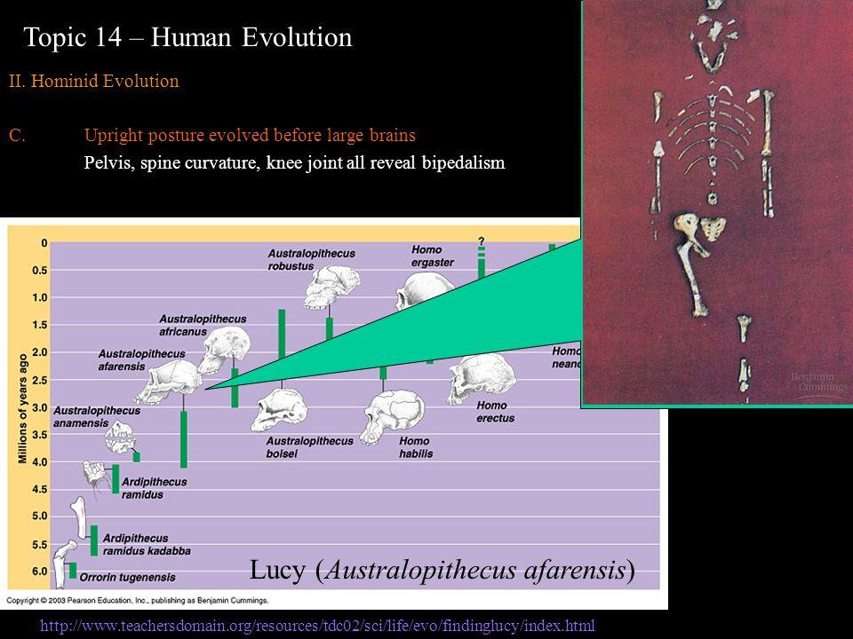 Topic 14 – Human Evolution II. Hominid Evolution C.Upright posture evolved before large brains Pelvis, spine curvature, knee joint all reveal bipedali