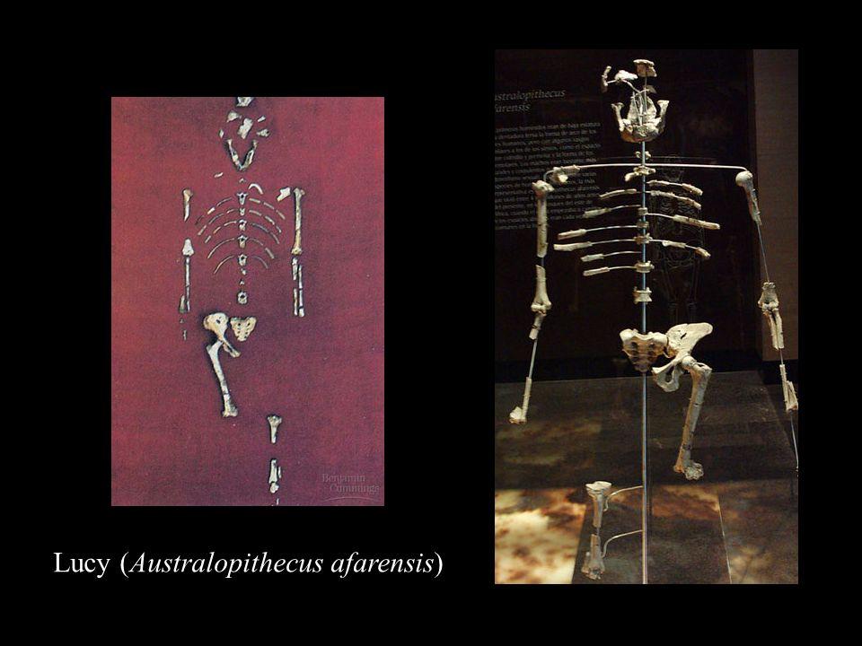 Homo erectus Lucy (Australopithecus afarensis)