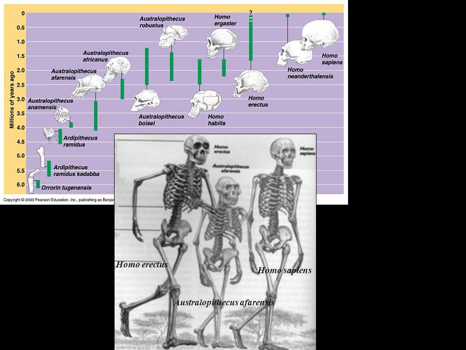 Australopithecus afarensis Homo erectus Homo sapiens