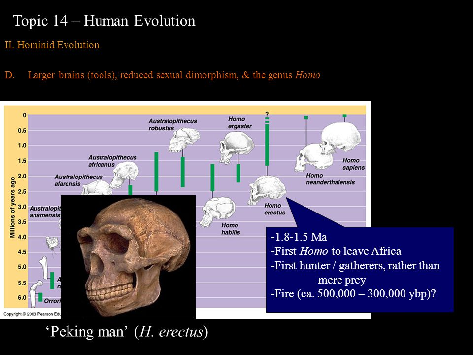 Topic 14 – Human Evolution II. Hominid Evolution D.