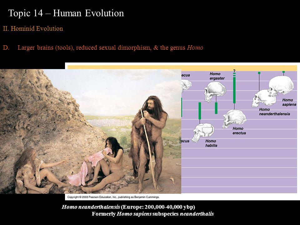 Homo neanderthalensis (Europe: 200,000-40,000 ybp) Formerly Homo sapiens subspecies neanderthalis Topic 14 – Human Evolution II. Hominid Evolution D.