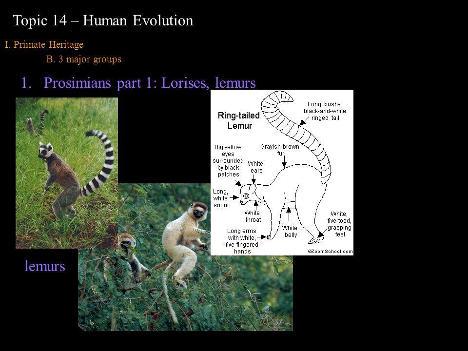 I. Primate Heritage B. 3 major groups Topic 14 – Human Evolution 1.Prosimians part 1: Lorises, lemurs lemurs 10 cm