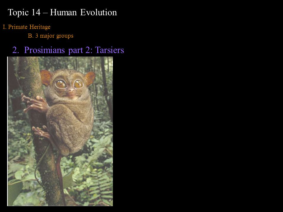 I. Primate Heritage B. 3 major groups Topic 14 – Human Evolution 2.