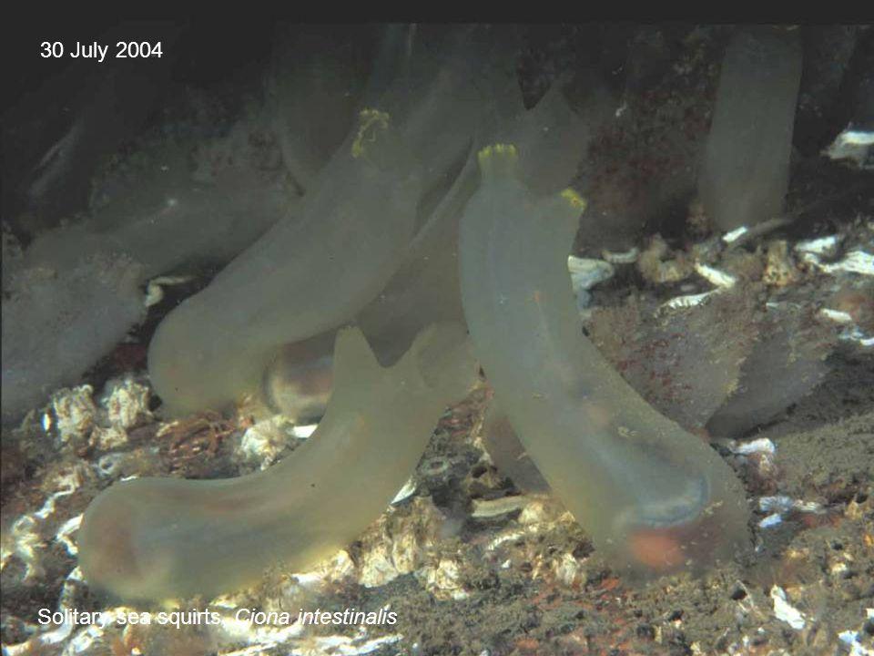 30 July 2004 Solitary sea squirts, Ciona intestinalis