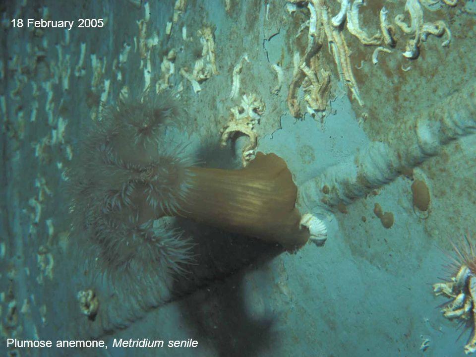 18 February 2005 Plumose anemone, Metridium senile