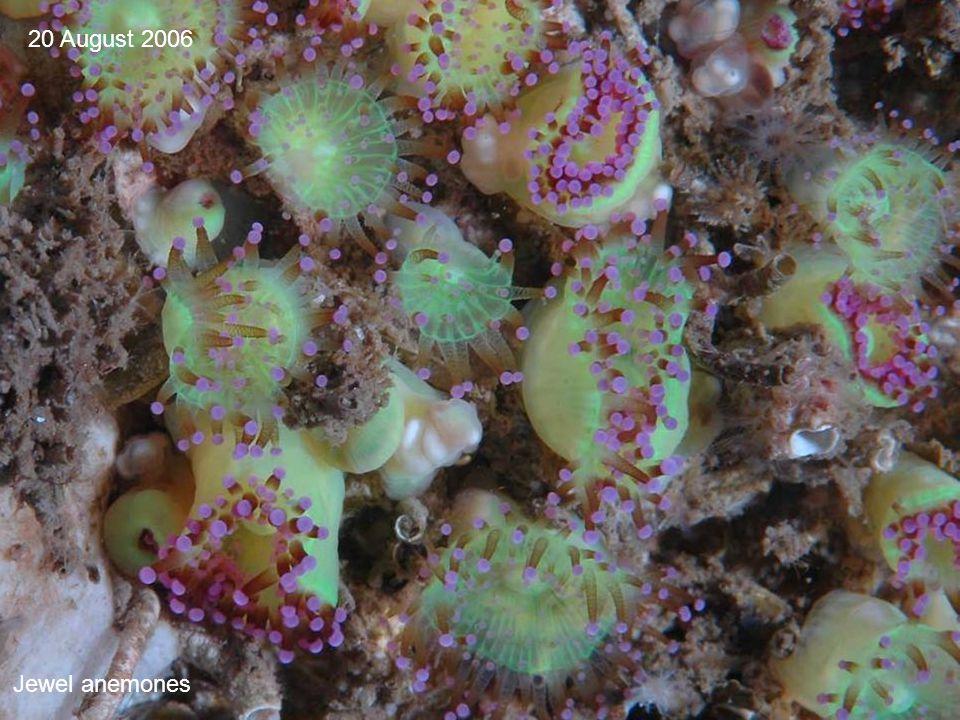 Jewel anemones 20 August 2006