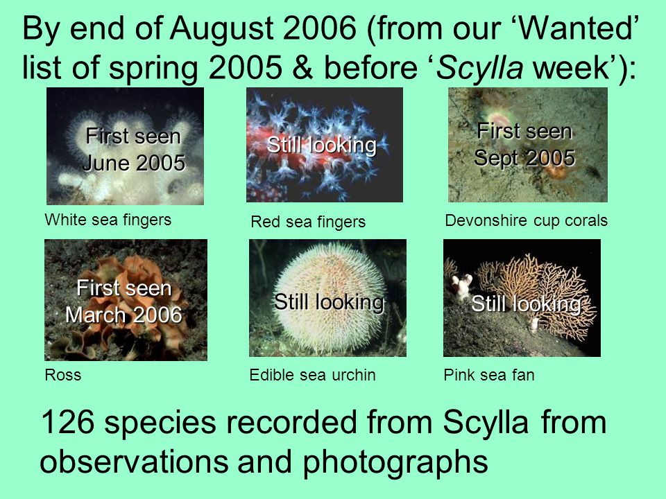 By end of August 2006 (from our Wanted list of spring 2005 & before Scylla week): White sea fingers Red sea fingers Ross Edible sea urchin Pink sea fan Devonshire cup corals First seen June 2005 First seen Sept 2005 First seen March 2006 Still looking 126 species recorded from Scylla from observations and photographs Still looking