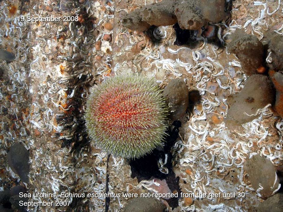 19 September 2008 Sea urchins, Echinus esculentus were not reported from the reef until 30 September 2007