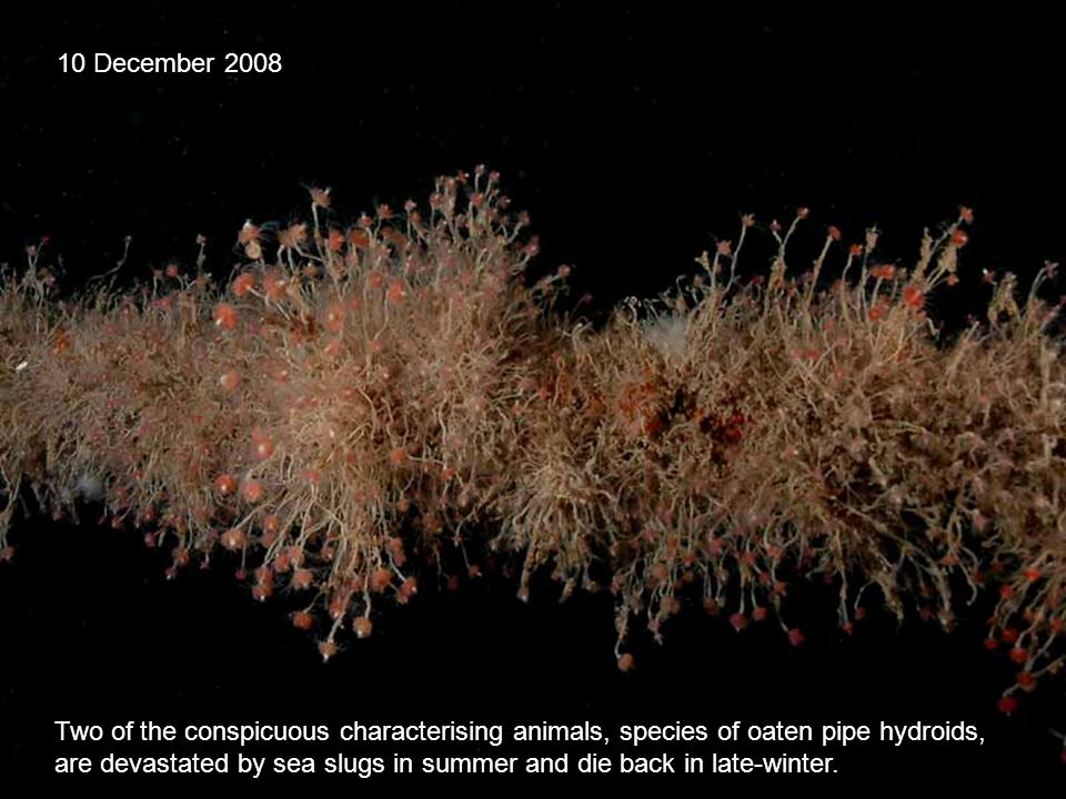 Two of the conspicuous characterising animals, species of oaten pipe hydroids, are devastated by sea slugs in summer and die back in late-winter.