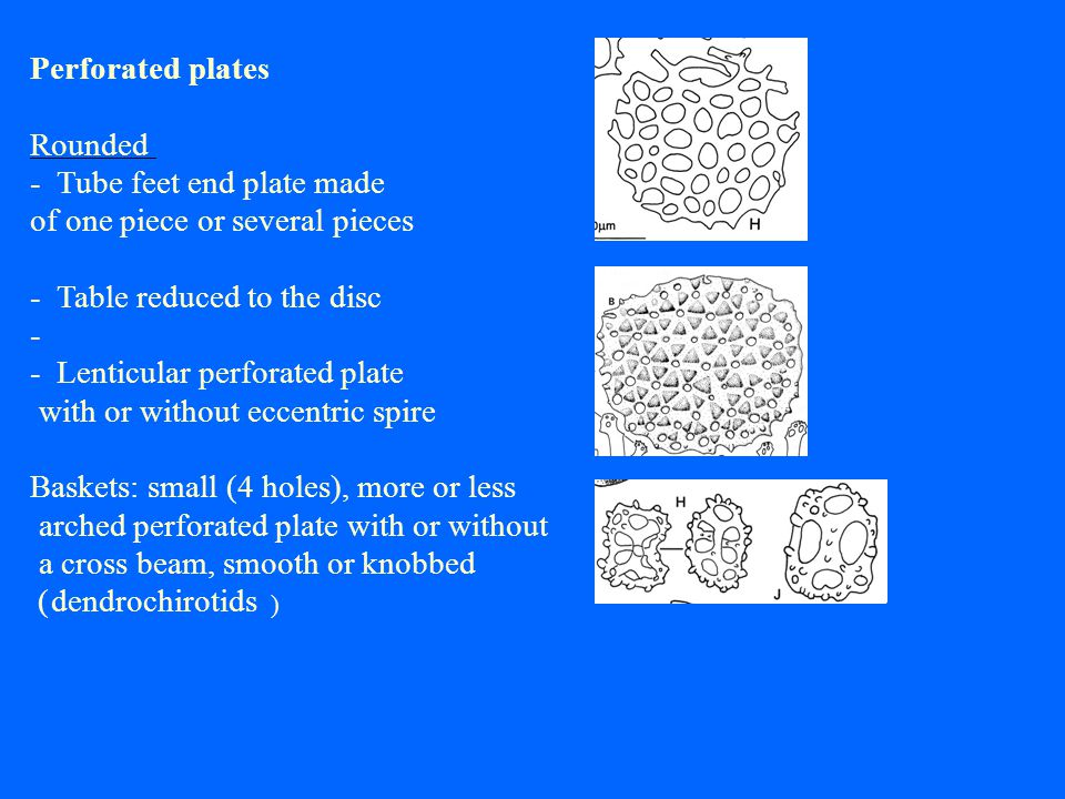 Perforated plates Rounded - Tube feet end plate made of one piece or several pieces - Table reduced to the disc - - Lenticular perforated plate with or without eccentric spire Baskets: small (4 holes), more or less arched perforated plate with or without a cross beam, smooth or knobbed (dendrochirotids )