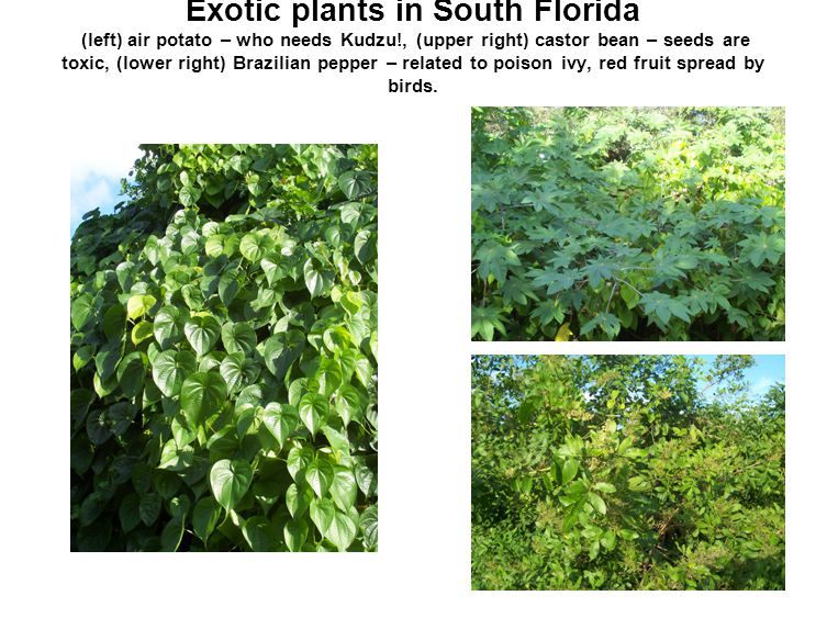 Exotic plants in South Florida (left) air potato – who needs Kudzu!, (upper right) castor bean – seeds are toxic, (lower right) Brazilian pepper – rel
