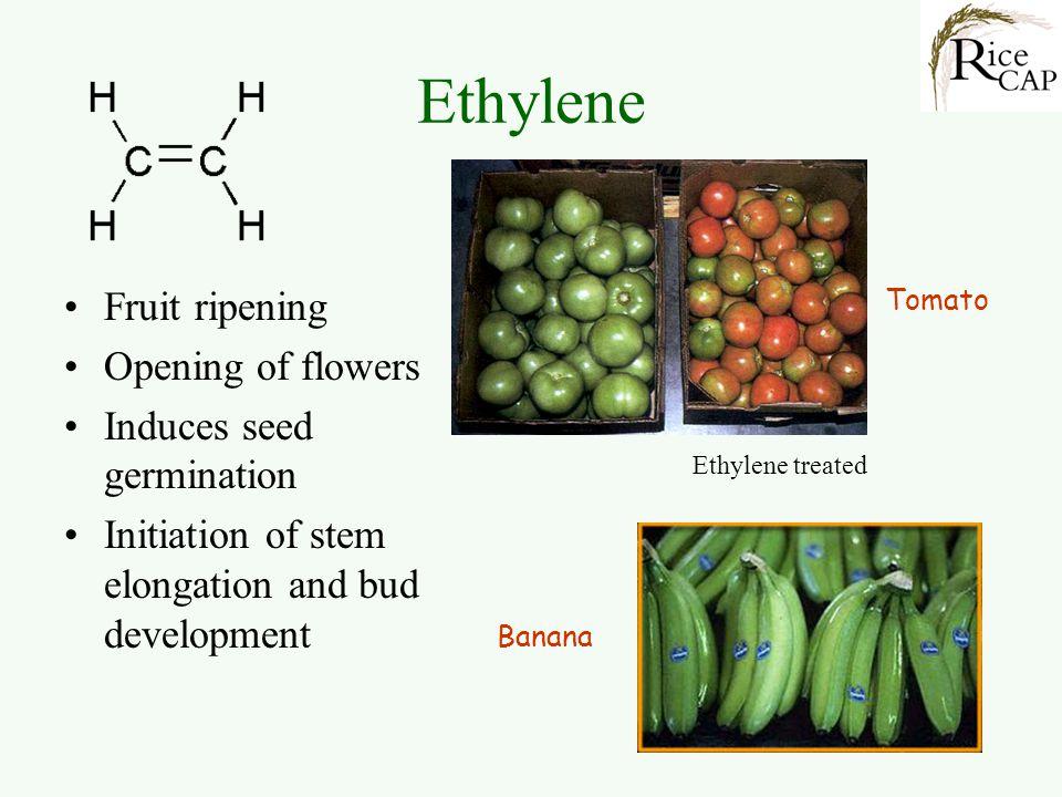 Ethylene Fruit ripening Opening of flowers Induces seed germination Initiation of stem elongation and bud development Tomato Banana Ethylene treated