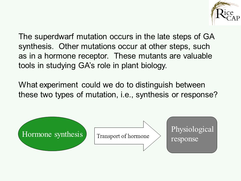 Hormone synthesis Transport of hormone Physiological response The superdwarf mutation occurs in the late steps of GA synthesis. Other mutations occur