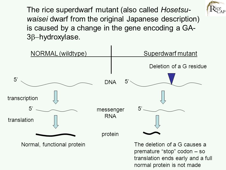 The rice superdwarf mutant (also called Hosetsu- waisei dwarf from the original Japanese description) is caused by a change in the gene encoding a GA-