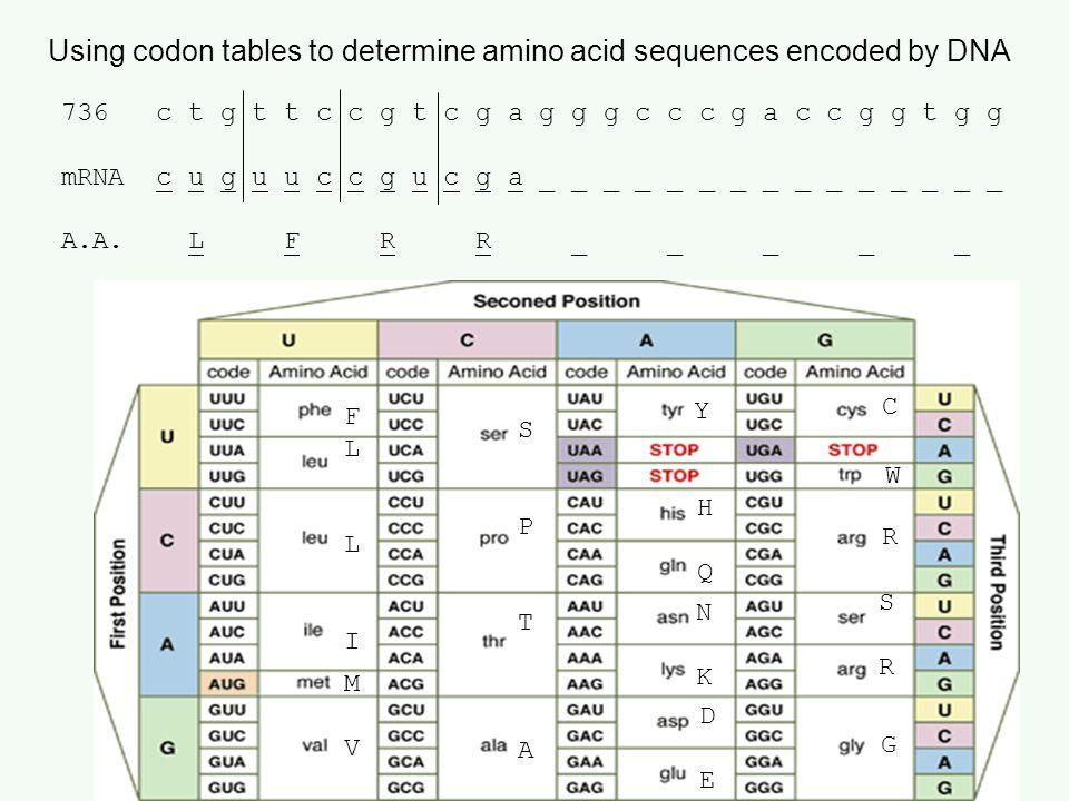 Using codon tables to determine amino acid sequences encoded by DNA 736 c t g t t c c g t c g a g g g c c c g a c c g g t g g mRNA c u g u u c c g u c