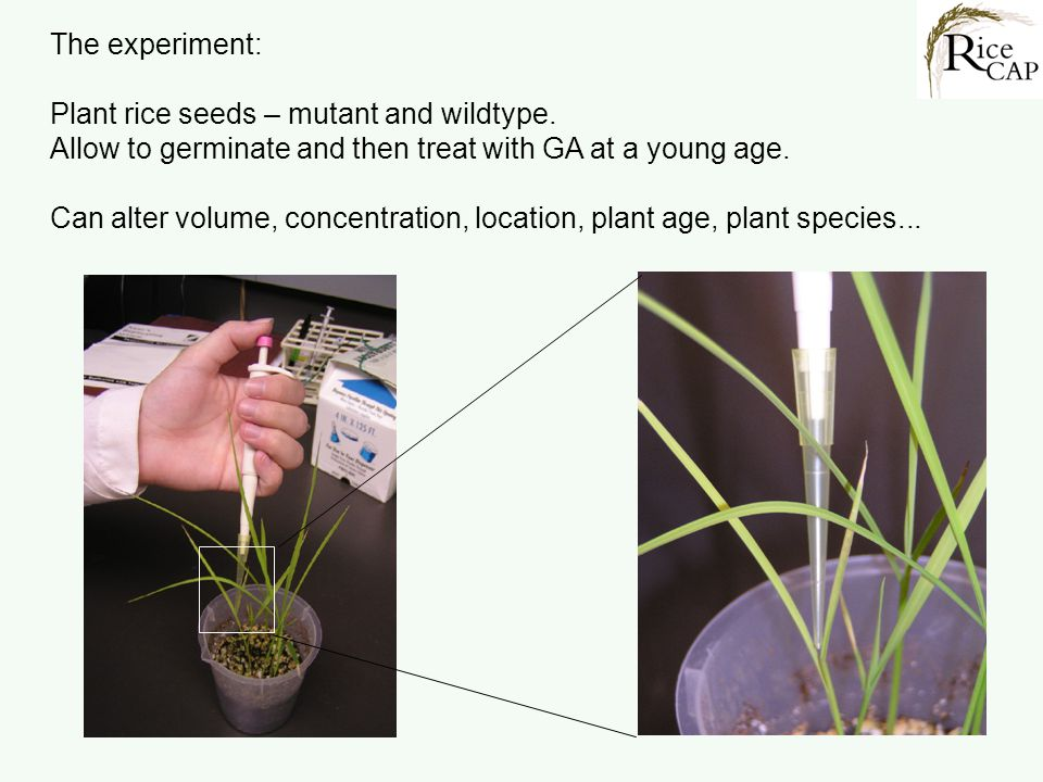 The experiment: Plant rice seeds – mutant and wildtype. Allow to germinate and then treat with GA at a young age. Can alter volume, concentration, loc