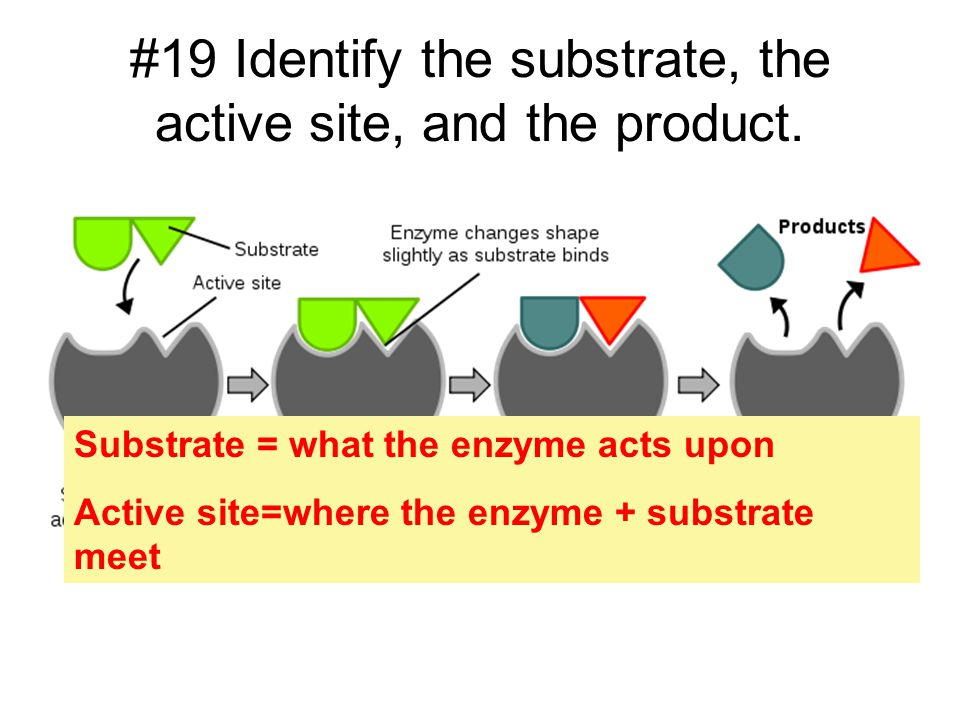 #19 Identify the substrate, the active site, and the product. Substrate = what the enzyme acts upon Active site=where the enzyme + substrate meet
