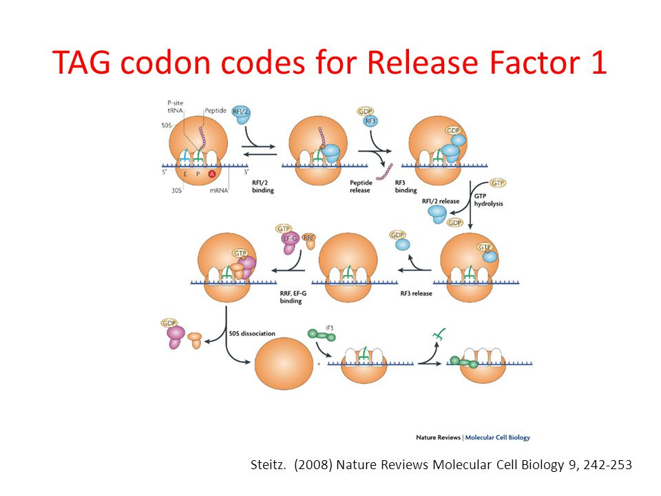 TAG codon codes for Release Factor 1 Steitz.