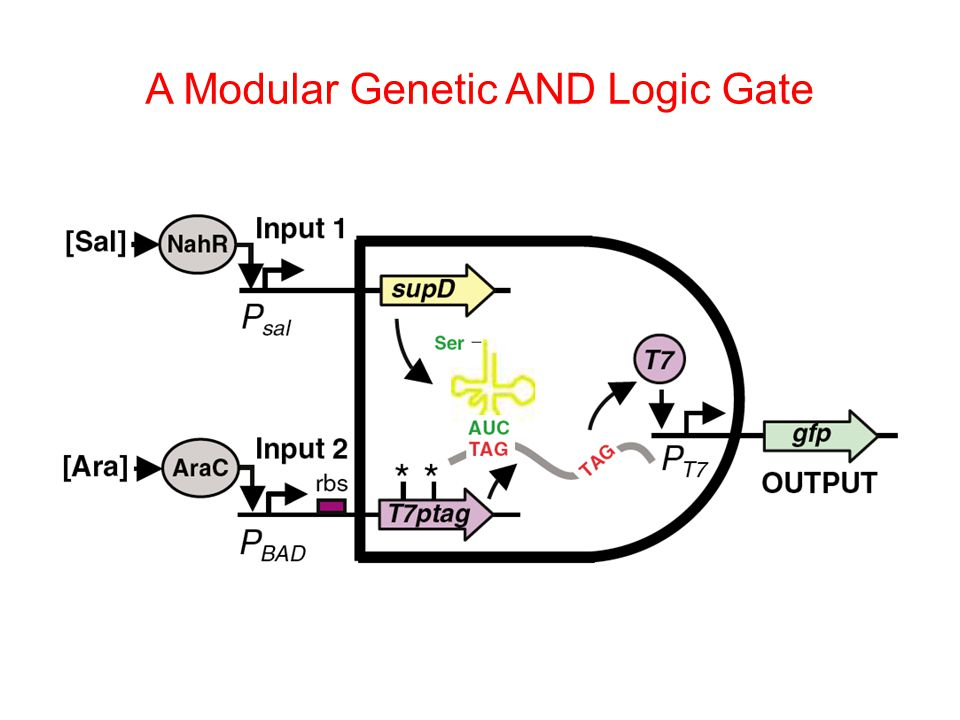 A Modular Genetic AND Logic Gate