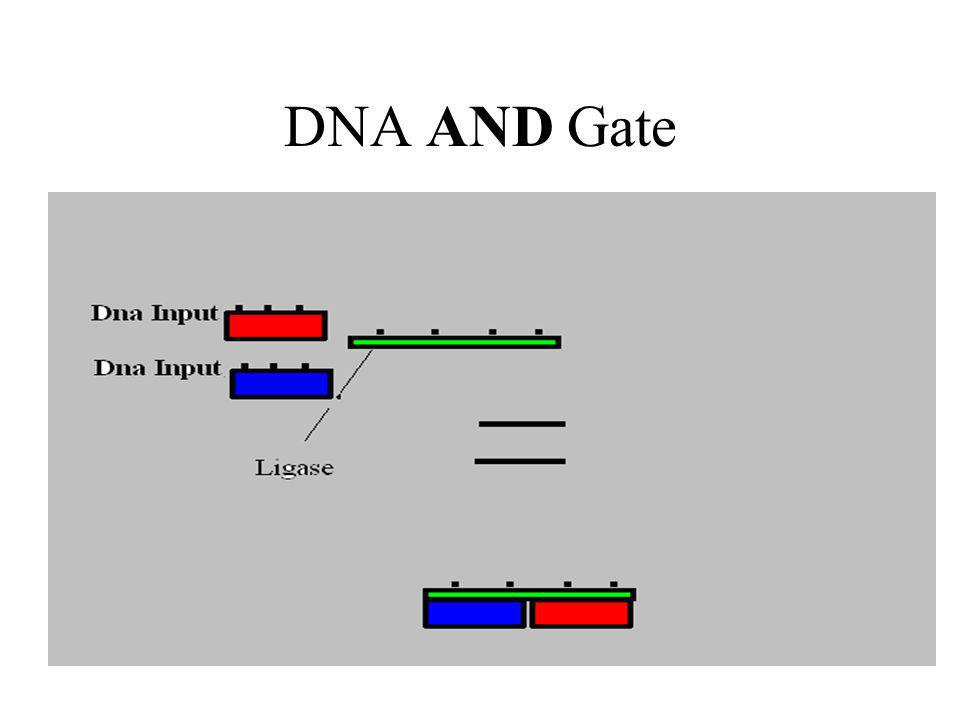 Process of ANDing Electrophoresis measures the size of each strand This provides the output for the two strands A DNA sequence that is the length of the two individual strands represents an AND operation