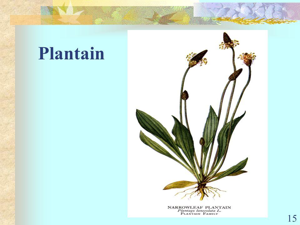 15 Plantain