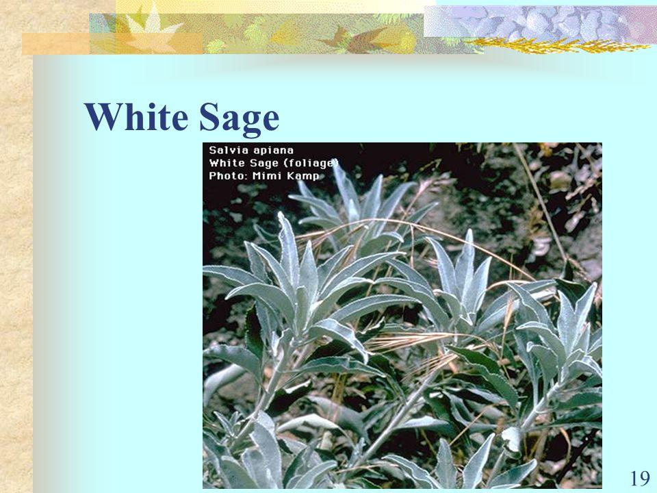 19 White Sage
