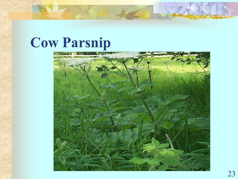 23 Cow Parsnip
