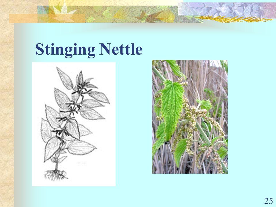 25 Stinging Nettle
