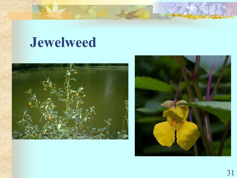 31 Jewelweed