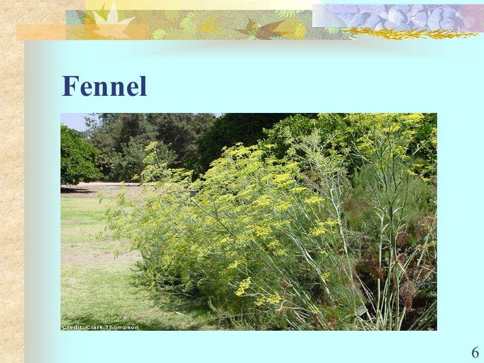 6 Fennel