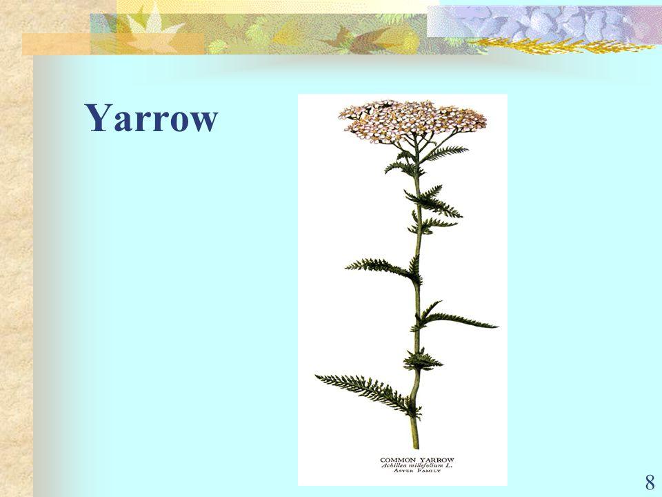 8 Yarrow