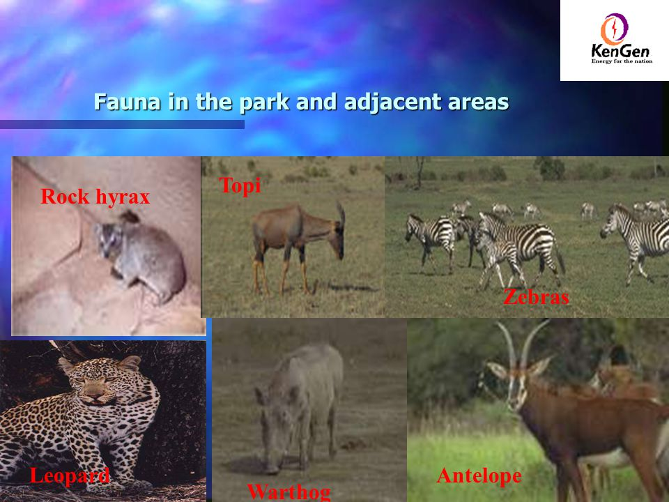 Fauna in the park and adjacent areas Rock hyrax Leopard Warthog Zebras Antelope Topi