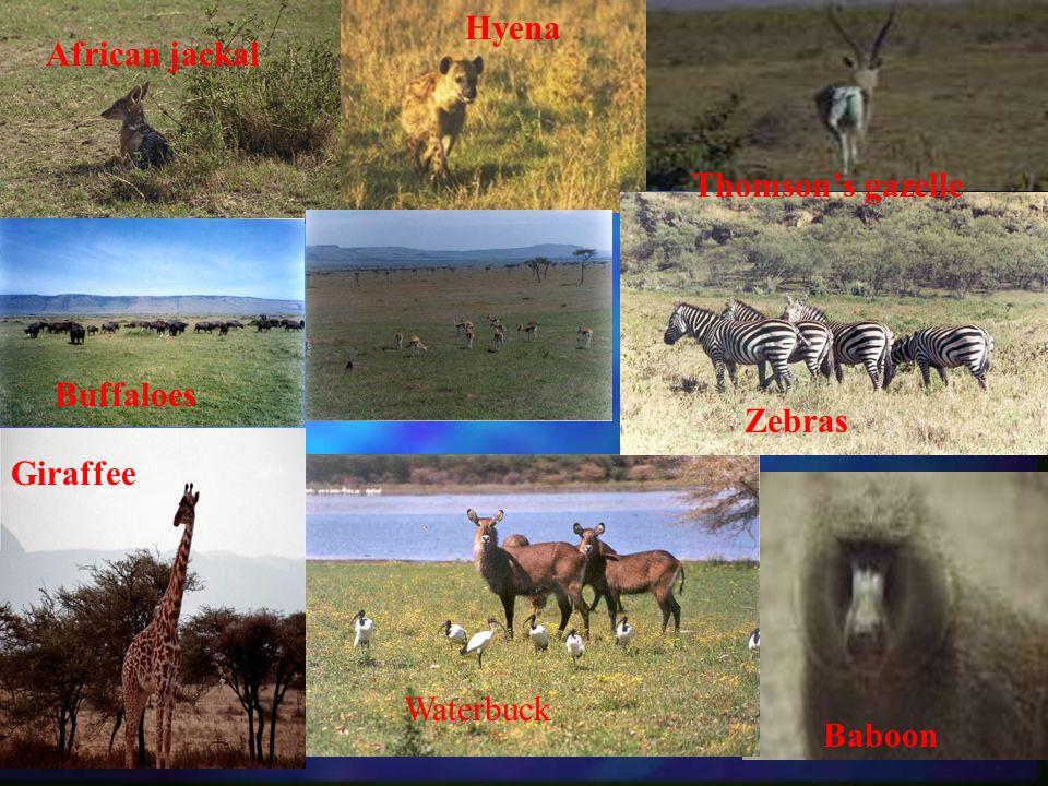 Giraffee Waterbuck Baboon Zebras African jackal Buffaloes Hyena Thomsons gazelle