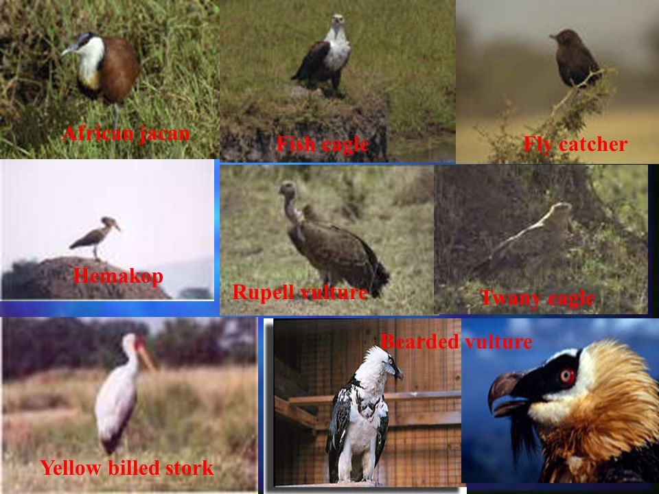 African jacan Fish eagleFly catcher Hemakop Rupell vulture Twany eagle Yellow billed stork Bearded vulture