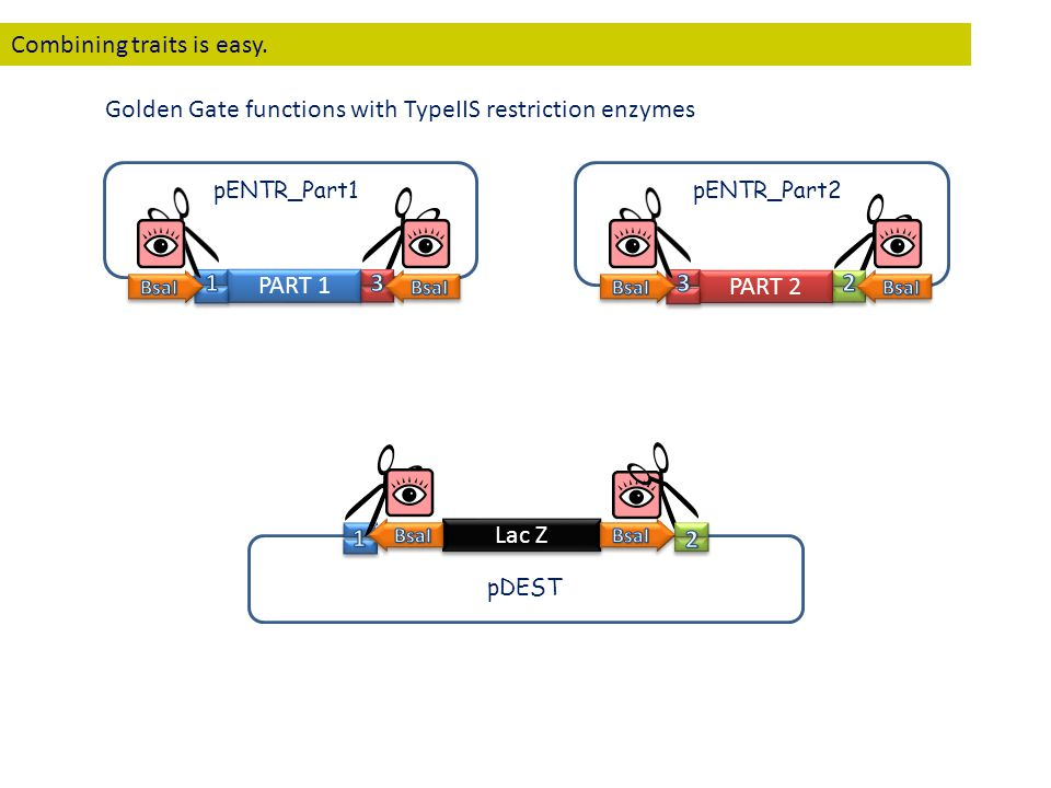PART 1 PART 2 Lac Z pENTR_Part1pENTR_Part2 pDEST Combining traits is easy. Golden Gate functions with TypeIIS restriction enzymes