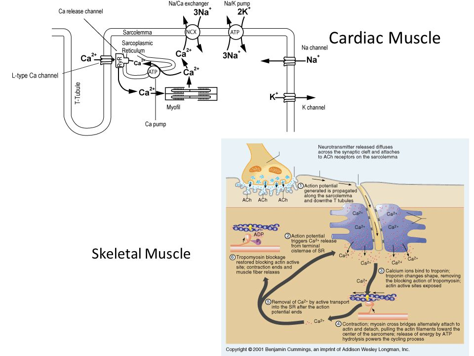 The Heart Action Potentials The heart has two types of action potentials – one type that is the heart muscle action potential and another type that is the pacemaker (SA node, AV node, etc.