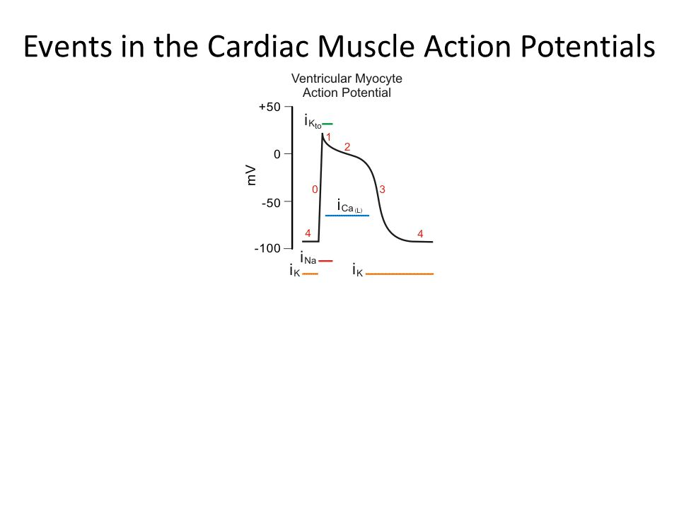 Events in the Cardiac Muscle Action Potential