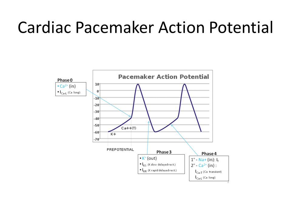 Pacemaker cells The pacemaker cells have automatic rhythm – they spontaneously in and of themselves can fire action potentials.