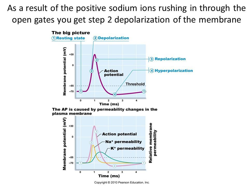 3.When the slow sodium inactivation gate closes the positive sodium ions stop rushing in and the membrane depolarizes no further – the up-shoot stops.