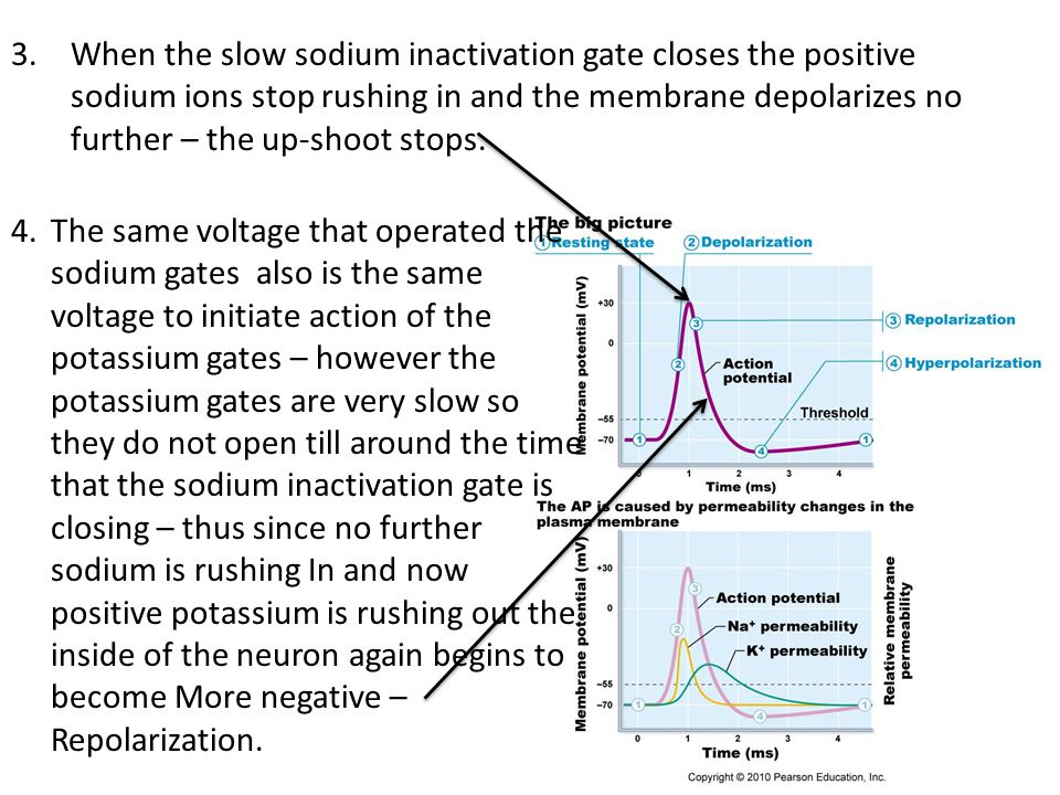 5.Just like the potassium gate was slow to open it is also slow to close – thus an overshoot of potassium moves out of the cell – causing the interior of the neuron to become more negative than at the start (Resting Membrane Potential).