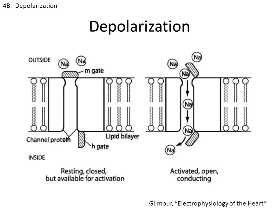 Depolarization 4B. Depolarization Gilmour, Electrophysiology of the Heart